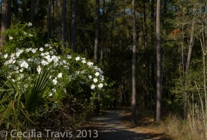 Cherokee rose by trail