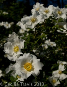 State flower, Cherokee rose