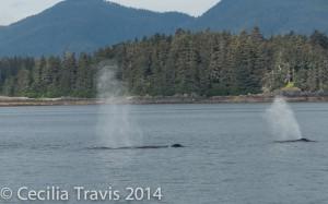 Spouting whales